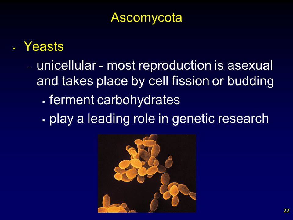 22 Ascomycota Yeasts – unicellular - most reproduction is asexual and takes place by cell fission or budding  ferment carbohydrates  play a leading