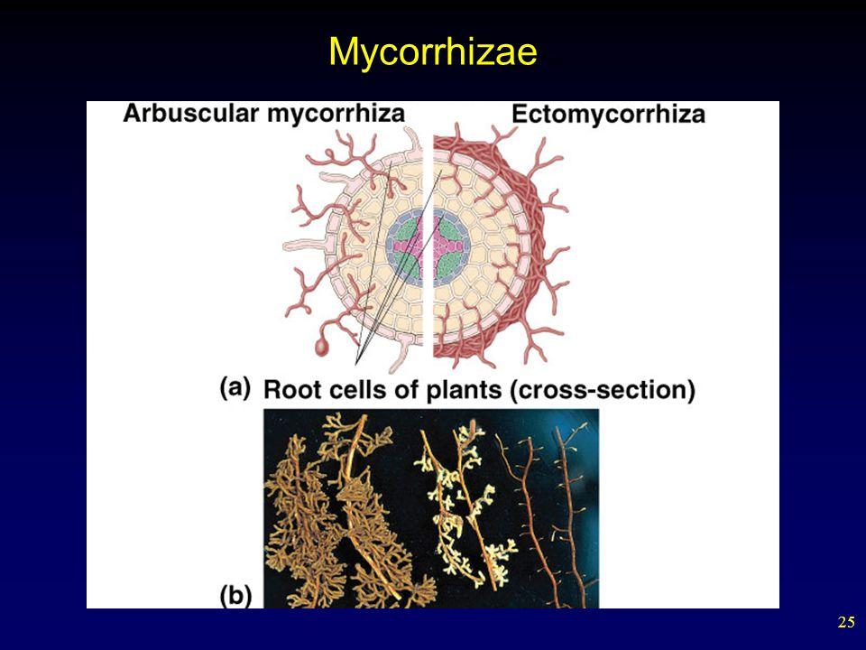 25 Mycorrhizae