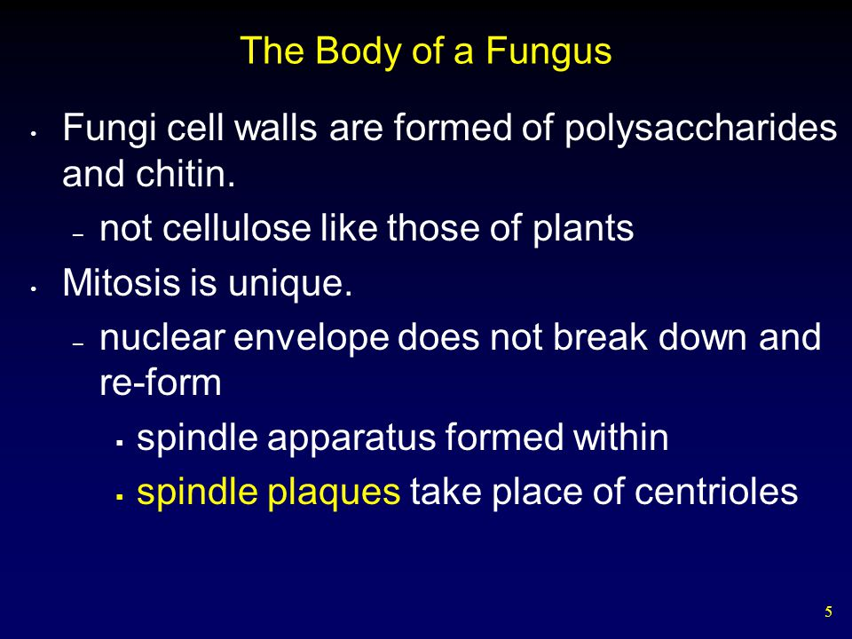 5 The Body of a Fungus Fungi cell walls are formed of polysaccharides and chitin. – not cellulose like those of plants Mitosis is unique. – nuclear en