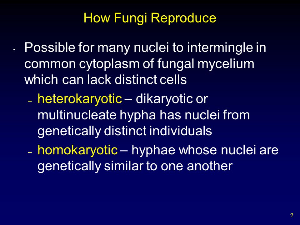 7 How Fungi Reproduce Possible for many nuclei to intermingle in common cytoplasm of fungal mycelium which can lack distinct cells – heterokaryotic –