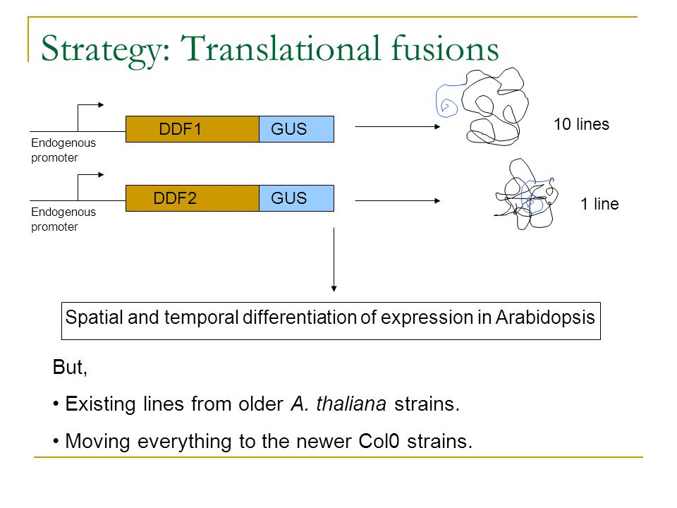 Strategy: Translational fusions DDF1 DDF2 GUS Endogenous promoter Spatial and temporal differentiation of expression in Arabidopsis But, Existing line