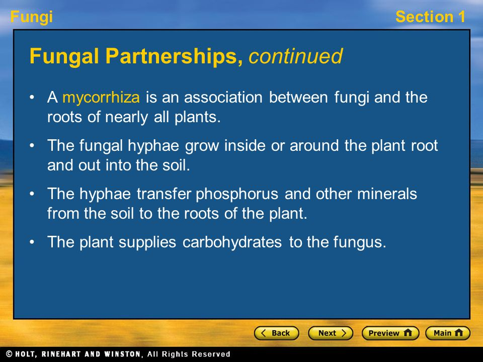 FungiSection 1 Fungal Partnerships, continued A mycorrhiza is an association between fungi and the roots of nearly all plants. The fungal hyphae grow