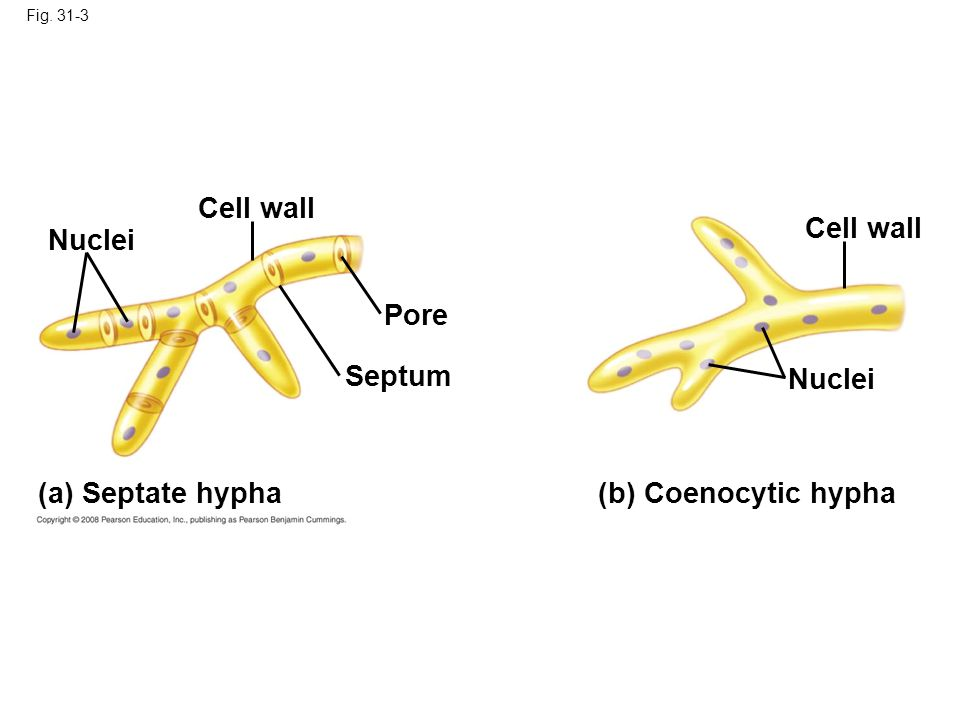 Fig. 31-3 (b) Coenocytic hypha Septum (a) Septate hypha Pore Nuclei Cell wall