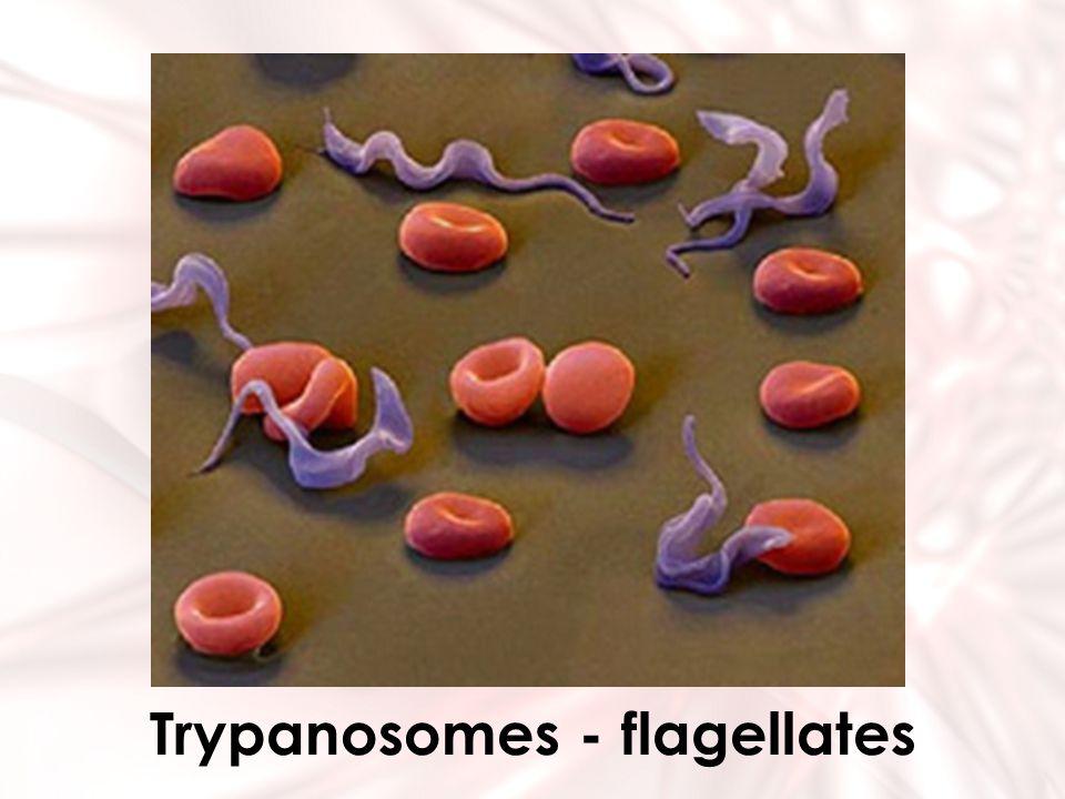 Trypanosomes - flagellates
