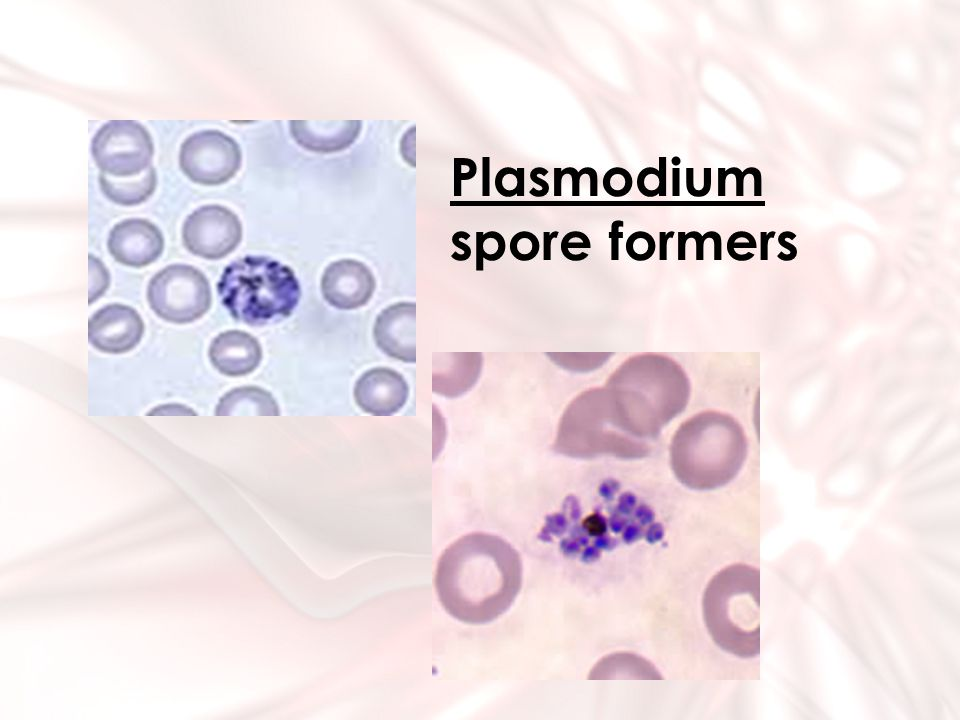Plasmodium spore formers