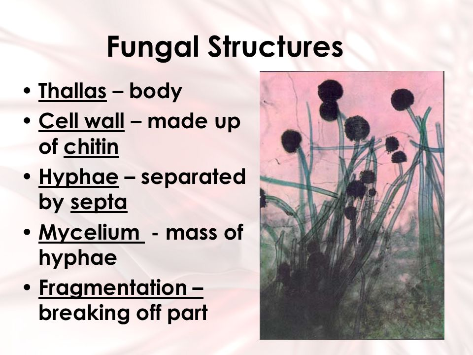 Fungal Structures Thallas – body Cell wall – made up of chitin Hyphae – separated by septa Mycelium - mass of hyphae Fragmentation – breaking off part