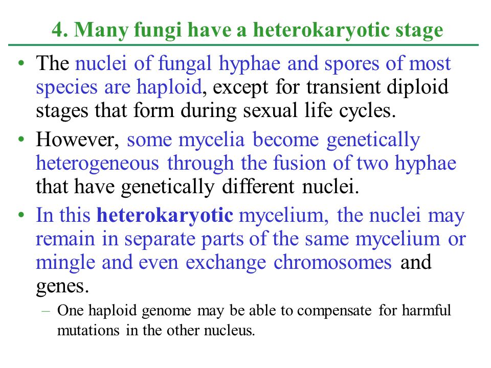 The nuclei of fungal hyphae and spores of most species are haploid, except for transient diploid stages that form during sexual life cycles. However,