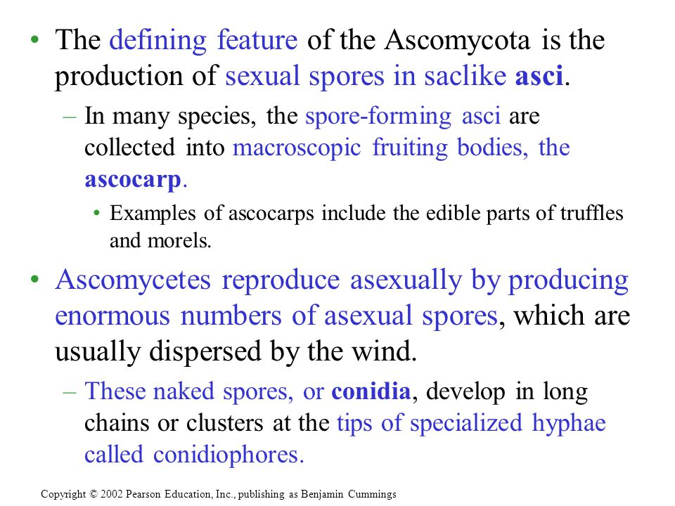 The defining feature of the Ascomycota is the production of sexual spores in saclike asci. –In many species, the spore-forming asci are collected into