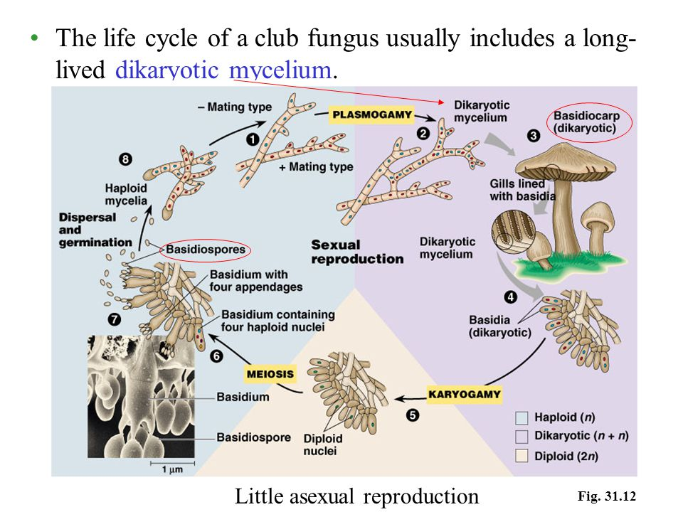 The life cycle of a club fungus usually includes a long- lived dikaryotic mycelium. Fig. 31.12 Little asexual reproduction