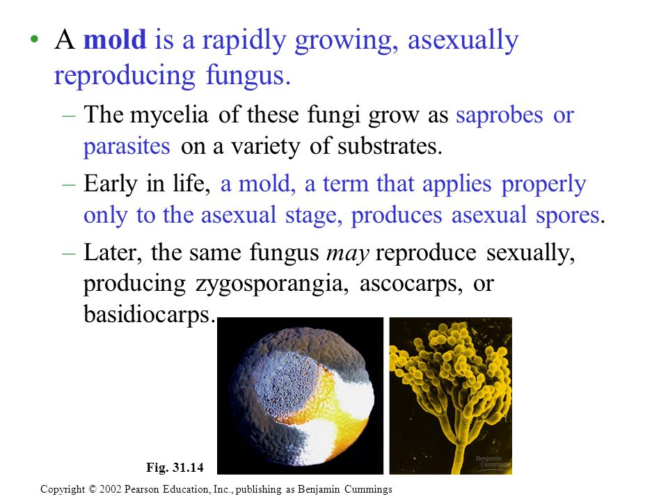 A mold is a rapidly growing, asexually reproducing fungus. –The mycelia of these fungi grow as saprobes or parasites on a variety of substrates. –Earl