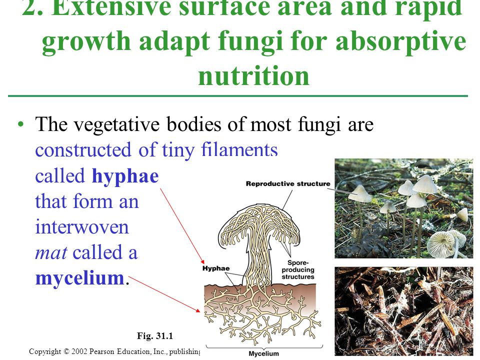 The fungal hyphae provides most of the lichen's mass and gives it its overall shape and structure.