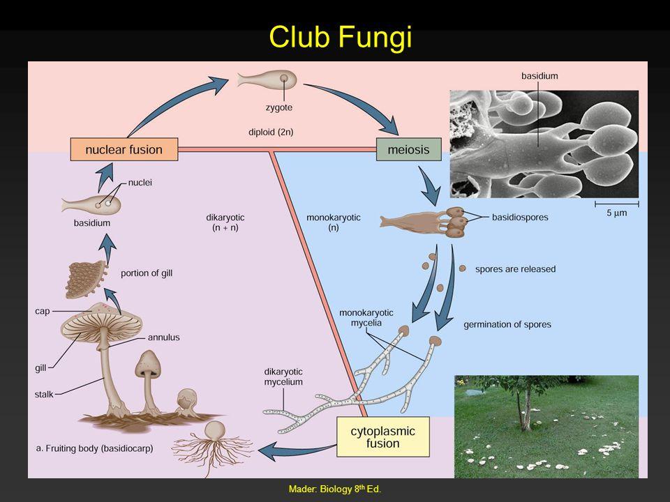Mader: Biology 8 th Ed. Club Fungi