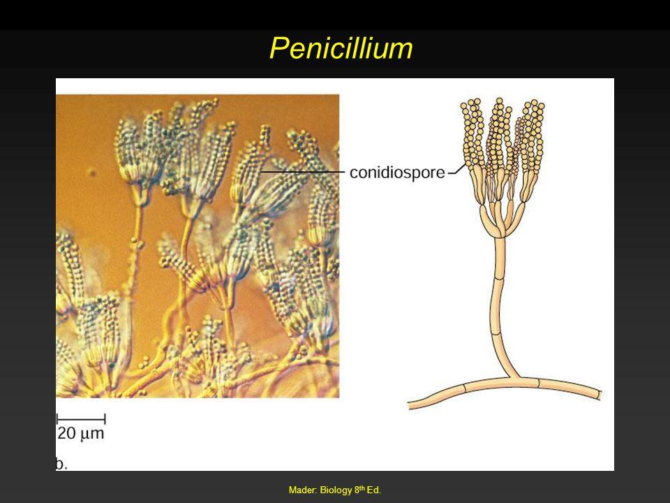 Mader: Biology 8 th Ed. Penicillium