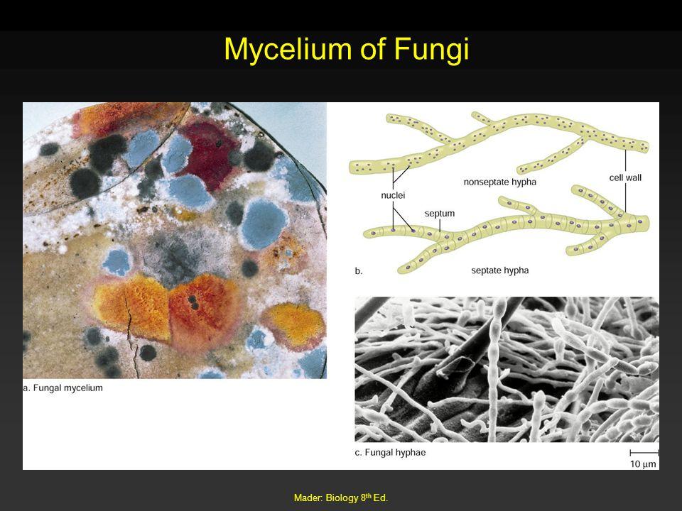 Mader: Biology 8 th Ed. Mycelium of Fungi