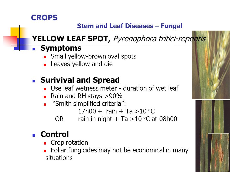 CROPS Stem and Leaf Diseases – Fungal YELLOW LEAF SPOT, Pyrenophora tritici-repentis Symptoms Small yellow-brown oval spots Leaves yellow and die Suri