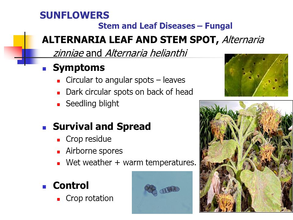 ALTERNARIA LEAF AND STEM SPOT, Alternaria zinniae and Alternaria helianthi Symptoms Circular to angular spots – leaves Dark circular spots on back of