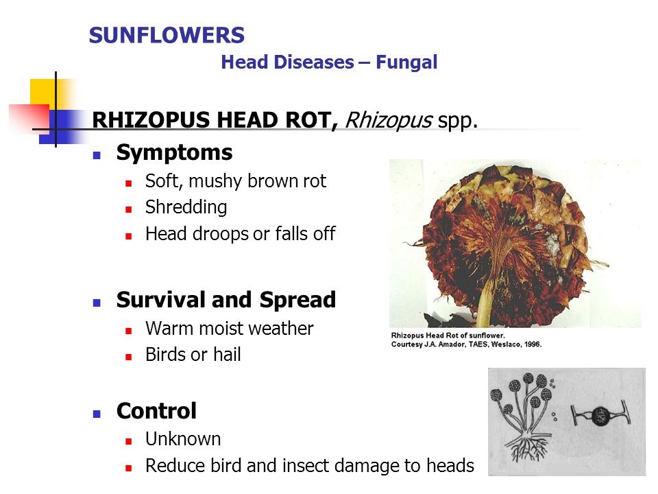 SUNFLOWERS Head Diseases – Fungal RHIZOPUS HEAD ROT, Rhizopus spp. Symptoms Soft, mushy brown rot Shredding Head droops or falls off Survival and Spre