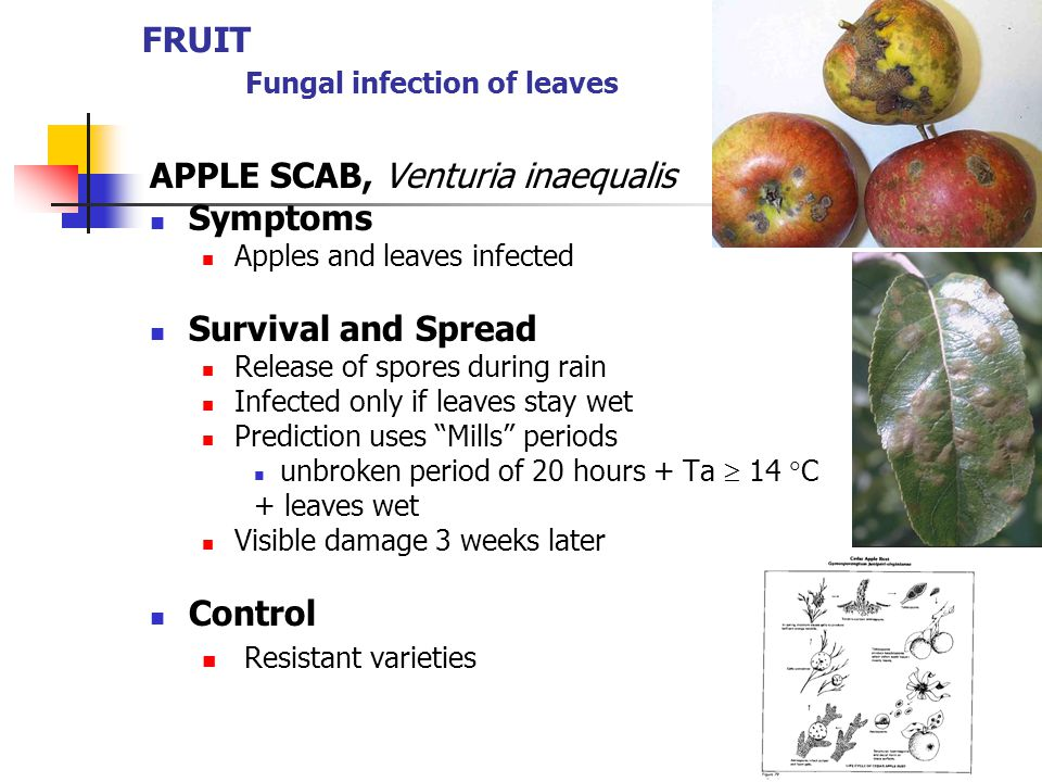 FRUIT Fungal infection of leaves APPLE SCAB, Venturia inaequalis Symptoms Apples and leaves infected Survival and Spread Release of spores during rain