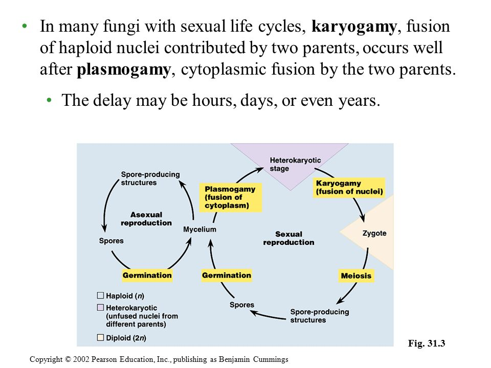 In many fungi with sexual life cycles, karyogamy, fusion of haploid nuclei contributed by two parents, occurs well after plasmogamy, cytoplasmic fusio