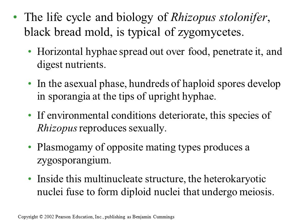 The life cycle and biology of Rhizopus stolonifer, black bread mold, is typical of zygomycetes. Horizontal hyphae spread out over food, penetrate it,