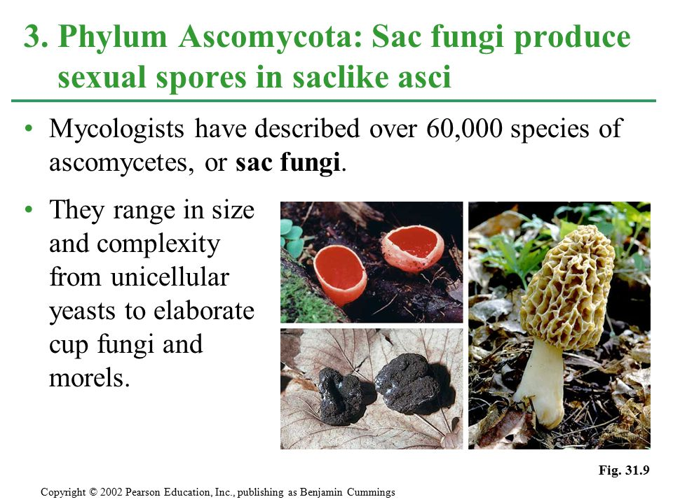 Mycologists have described over 60,000 species of ascomycetes, or sac fungi. They range in size and complexity from unicellular yeasts to elaborate cu