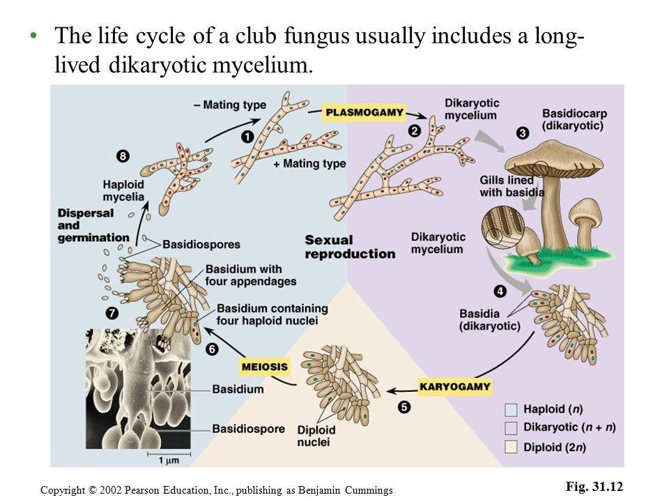 The life cycle of a club fungus usually includes a long- lived dikaryotic mycelium. Copyright © 2002 Pearson Education, Inc., publishing as Benjamin C