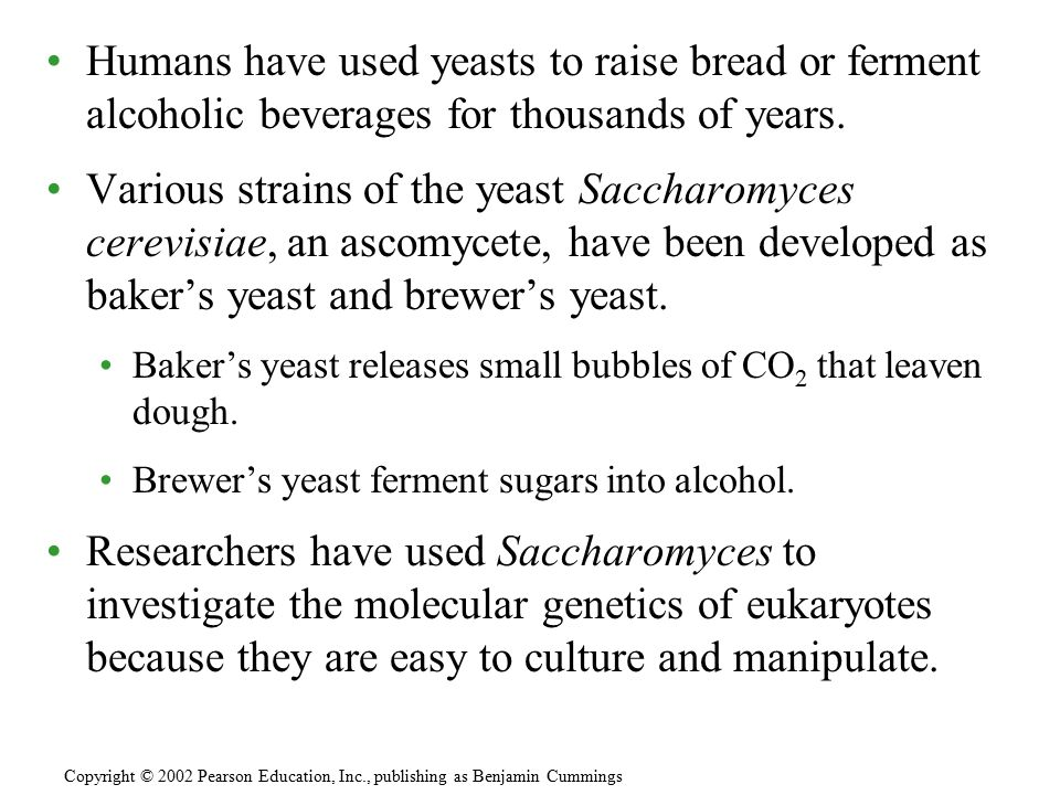 Humans have used yeasts to raise bread or ferment alcoholic beverages for thousands of years. Various strains of the yeast Saccharomyces cerevisiae, a