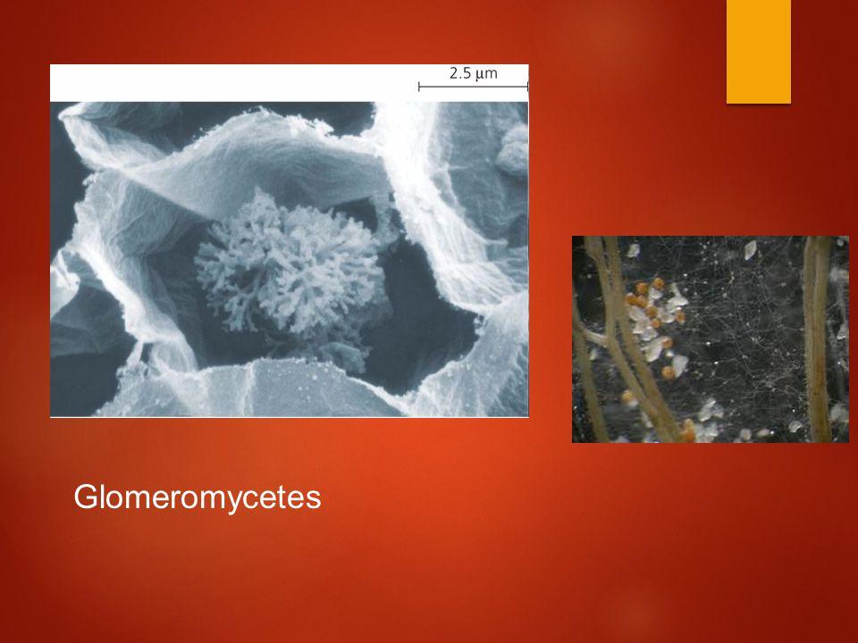 Glomeromycetes