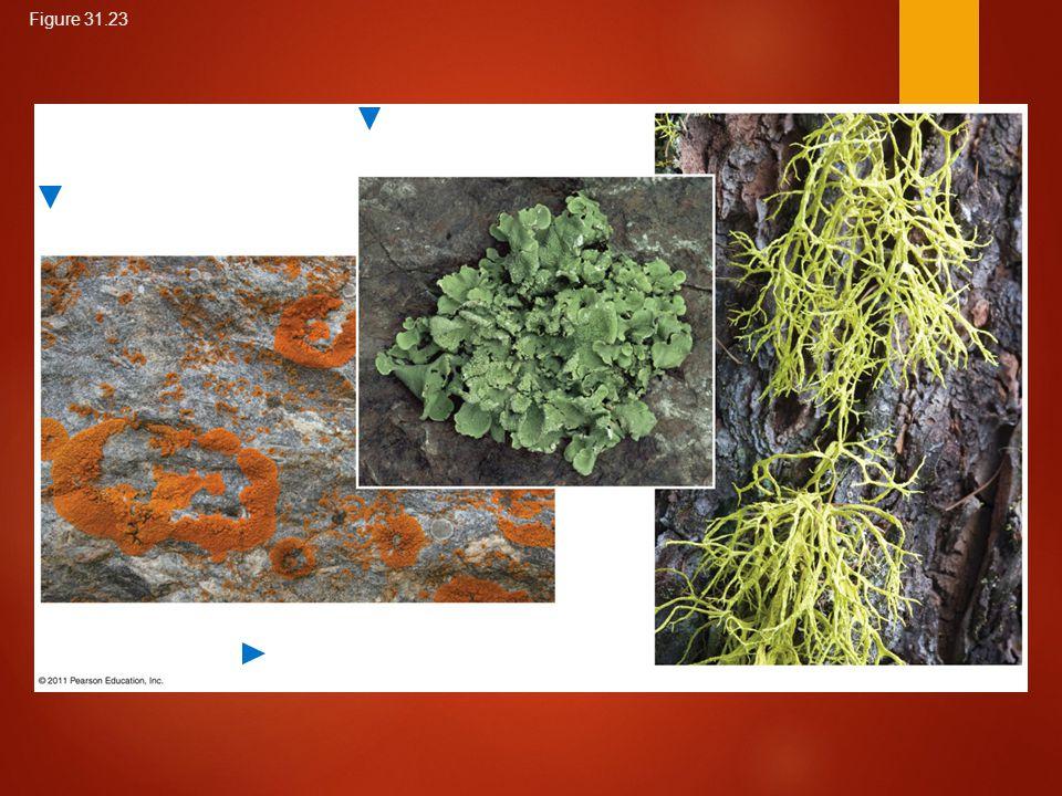 Figure 31.23 A fruticose (shrublike) lichen A foliose (leaflike) lichen Crustose (encrusting) lichens