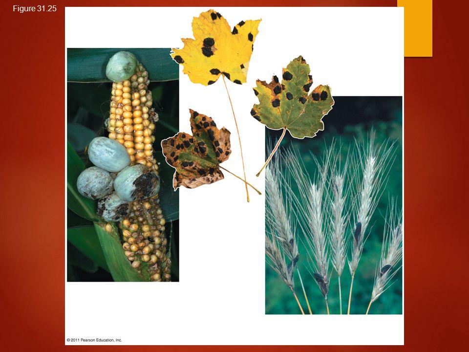 Figure 31.25 (a) Corn smut on corn (c) Ergots on rye (b) Tar spot fungus on maple leaves