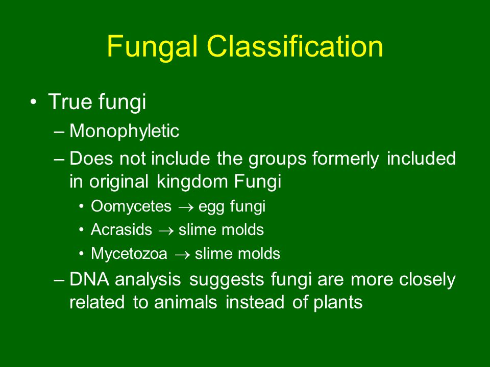 Fungal Classification True fungi –Monophyletic –Does not include the groups formerly included in original kingdom Fungi Oomycetes  egg fungi Acrasids  slime molds Mycetozoa  slime molds –DNA analysis suggests fungi are more closely related to animals instead of plants