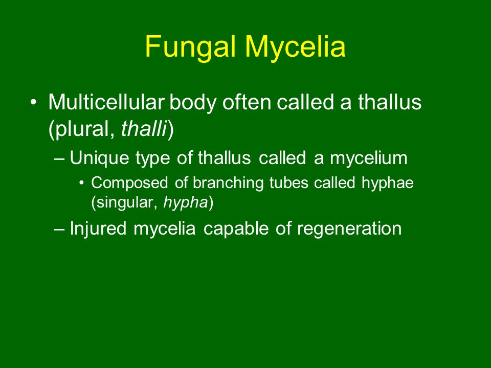 Fungal Mycelia Multicellular body often called a thallus (plural, thalli) –Unique type of thallus called a mycelium Composed of branching tubes called hyphae (singular, hypha) –Injured mycelia capable of regeneration