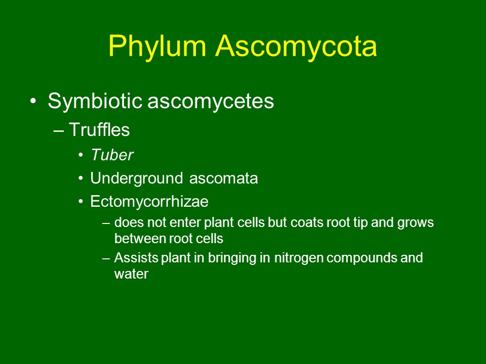 Phylum Ascomycota Symbiotic ascomycetes –Truffles Tuber Underground ascomata Ectomycorrhizae –does not enter plant cells but coats root tip and grows between root cells –Assists plant in bringing in nitrogen compounds and water