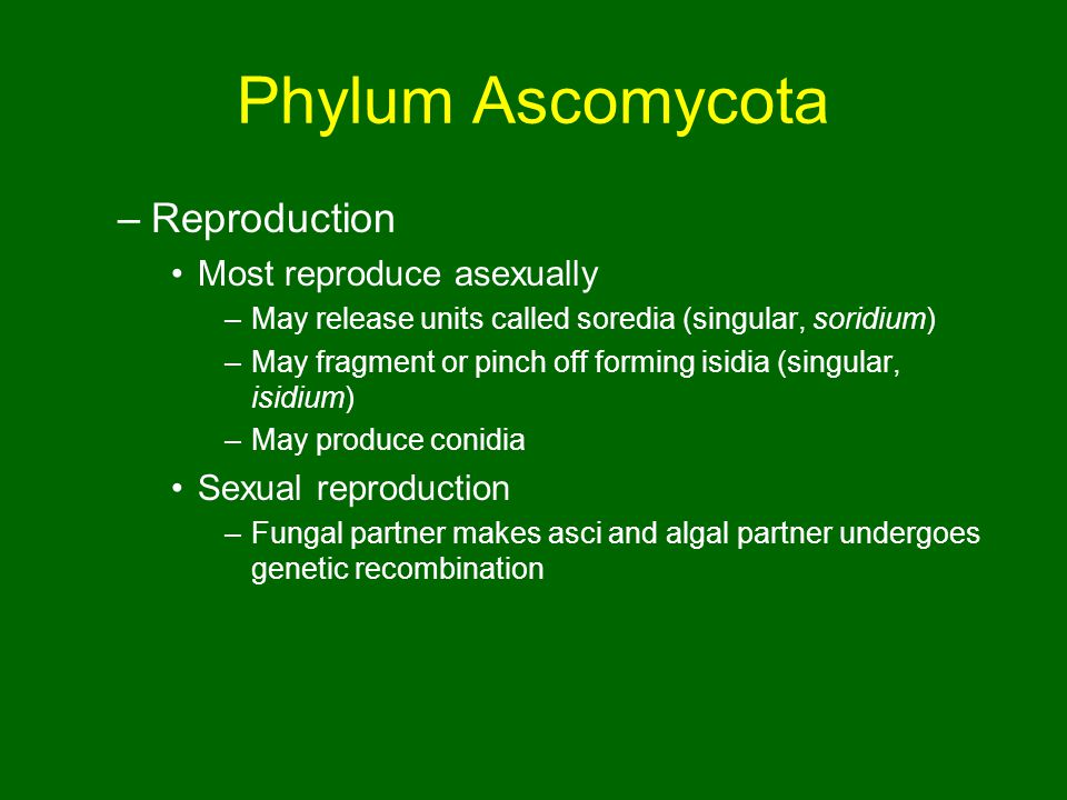 Phylum Ascomycota –Reproduction Most reproduce asexually –May release units called soredia (singular, soridium) –May fragment or pinch off forming isidia (singular, isidium) –May produce conidia Sexual reproduction –Fungal partner makes asci and algal partner undergoes genetic recombination