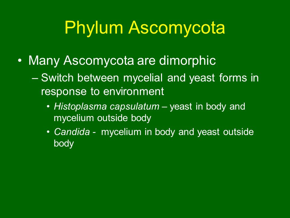 Phylum Ascomycota Many Ascomycota are dimorphic –Switch between mycelial and yeast forms in response to environment Histoplasma capsulatum – yeast in body and mycelium outside body Candida - mycelium in body and yeast outside body