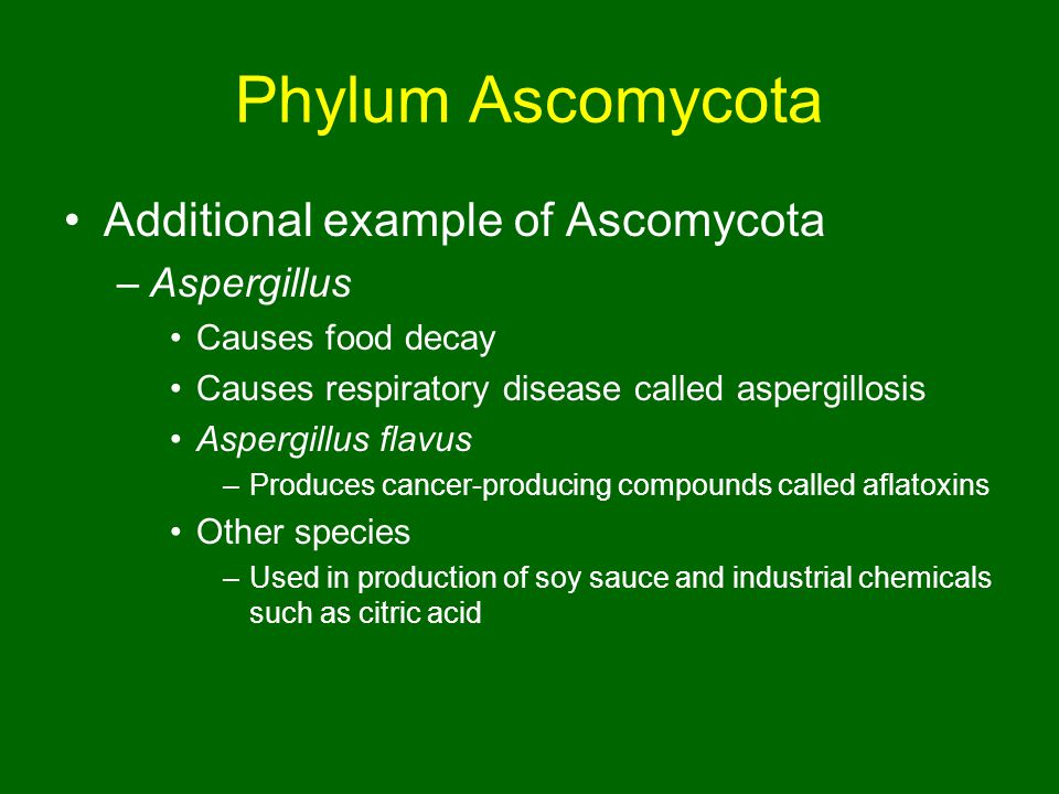 Phylum Ascomycota Additional example of Ascomycota –Aspergillus Causes food decay Causes respiratory disease called aspergillosis Aspergillus flavus –Produces cancer-producing compounds called aflatoxins Other species –Used in production of soy sauce and industrial chemicals such as citric acid