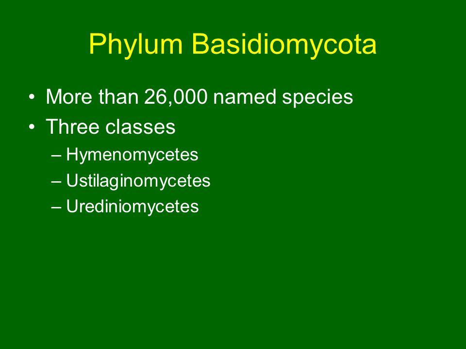 Phylum Basidiomycota More than 26,000 named species Three classes –Hymenomycetes –Ustilaginomycetes –Urediniomycetes