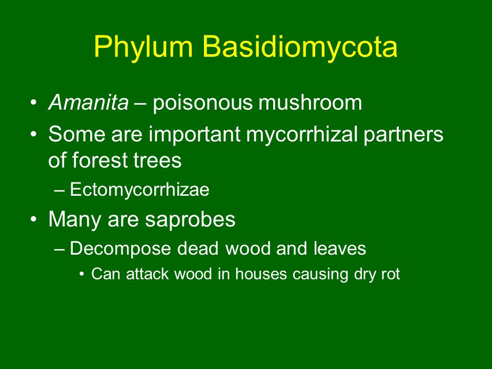 Phylum Basidiomycota Amanita – poisonous mushroom Some are important mycorrhizal partners of forest trees –Ectomycorrhizae Many are saprobes –Decompose dead wood and leaves Can attack wood in houses causing dry rot