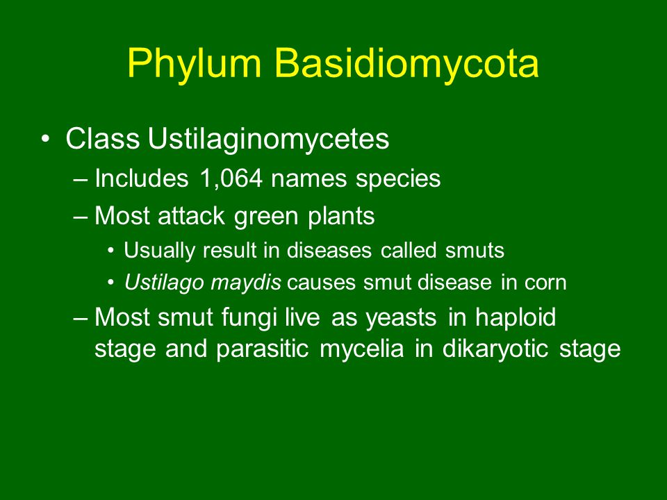 Phylum Basidiomycota Class Ustilaginomycetes –Includes 1,064 names species –Most attack green plants Usually result in diseases called smuts Ustilago maydis causes smut disease in corn –Most smut fungi live as yeasts in haploid stage and parasitic mycelia in dikaryotic stage
