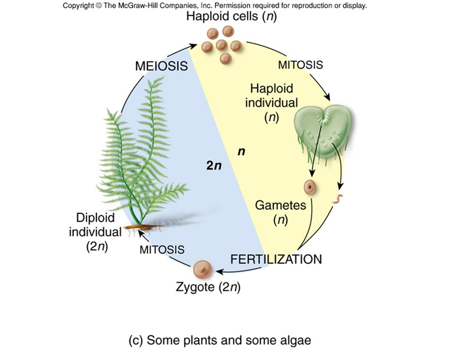 Male gametophytes are produced in the anther… Meiosis occurs and produces microspores These undergo mitosis to produce pollen (the male gametophyte)