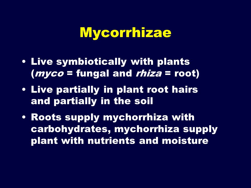 Mycorrhizae Live symbiotically with plants (myco = fungal and rhiza = root) Live partially in plant root hairs and partially in the soil Roots supply