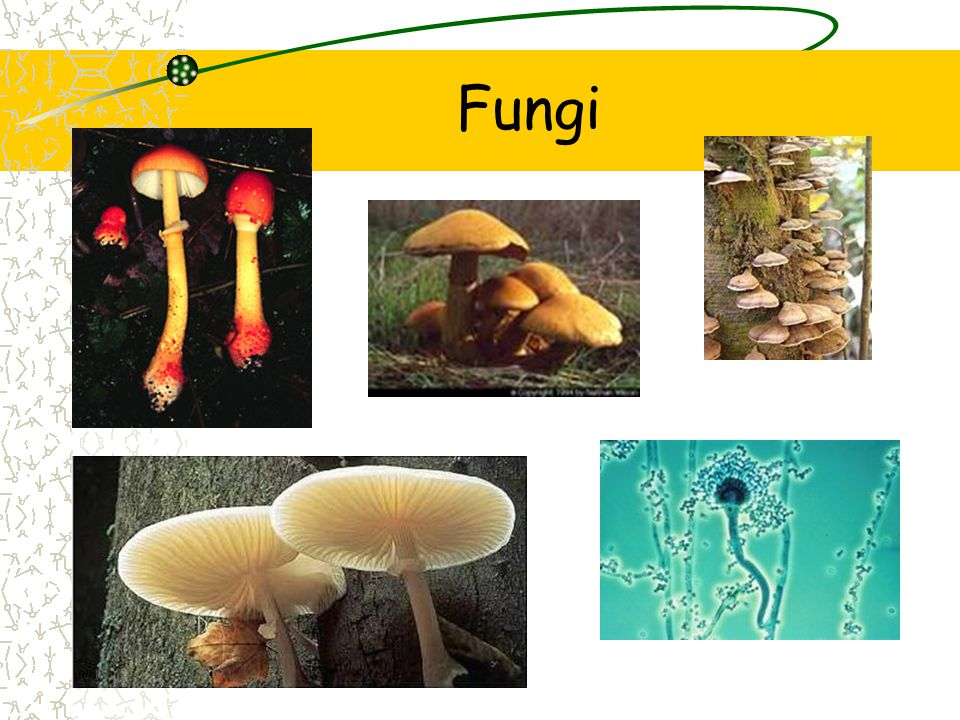 Endophytes Fungus lives inside the plant Intercellular spaces Help defend plant against herbivores Symbiotic relationship between fungi & ruminant animals Fungi helps digest the cellulose