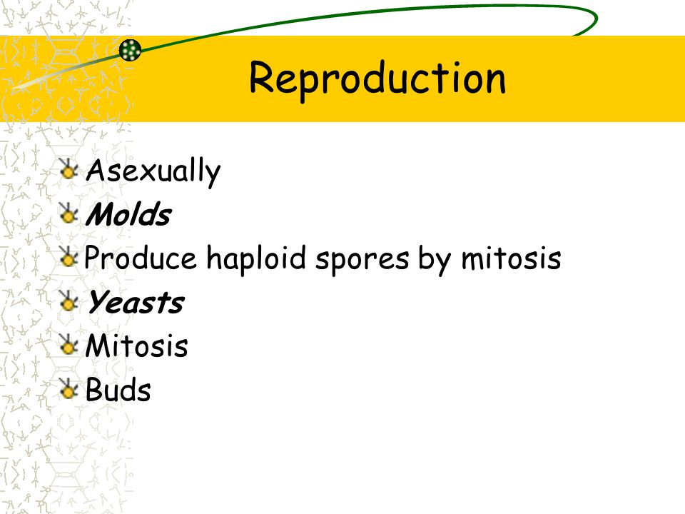 Reproduction Asexually Molds Produce haploid spores by mitosis Yeasts Mitosis Buds