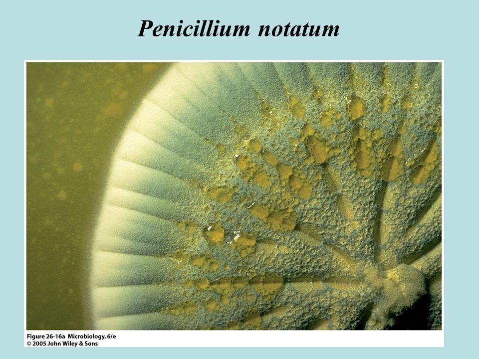 Penicillium notatum