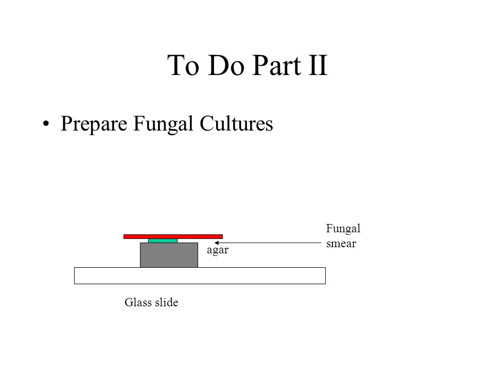 To Do Part II Prepare Fungal Cultures Glass slide agar Fungal smear