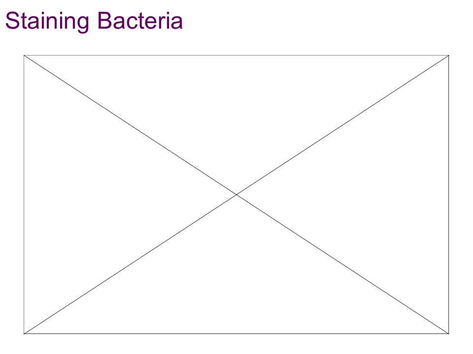 Staining Bacteria