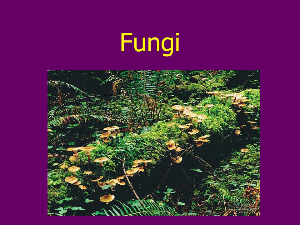 Overview Fungi are eukaryotes Most are multicellular Differ from other eukaryotes in nutritional mode, structural organization, growth & reproduction Molecular studies show they are more closely related to animals than to plants