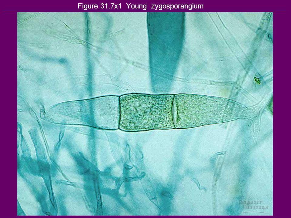 Figure 31.7x1 Young zygosporangium