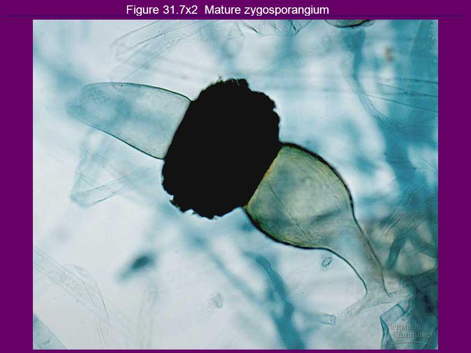 Figure 31.7x2 Mature zygosporangium