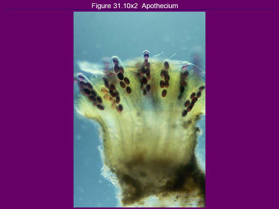 Figure 31.10x2 Apothecium